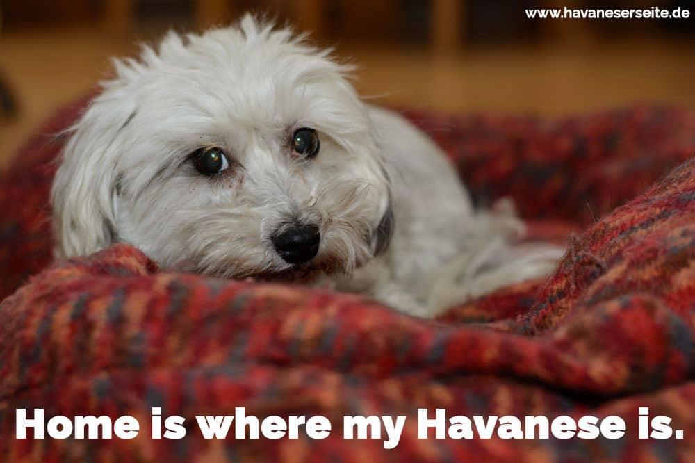 Ein Havaneser auf dem Deck liegen