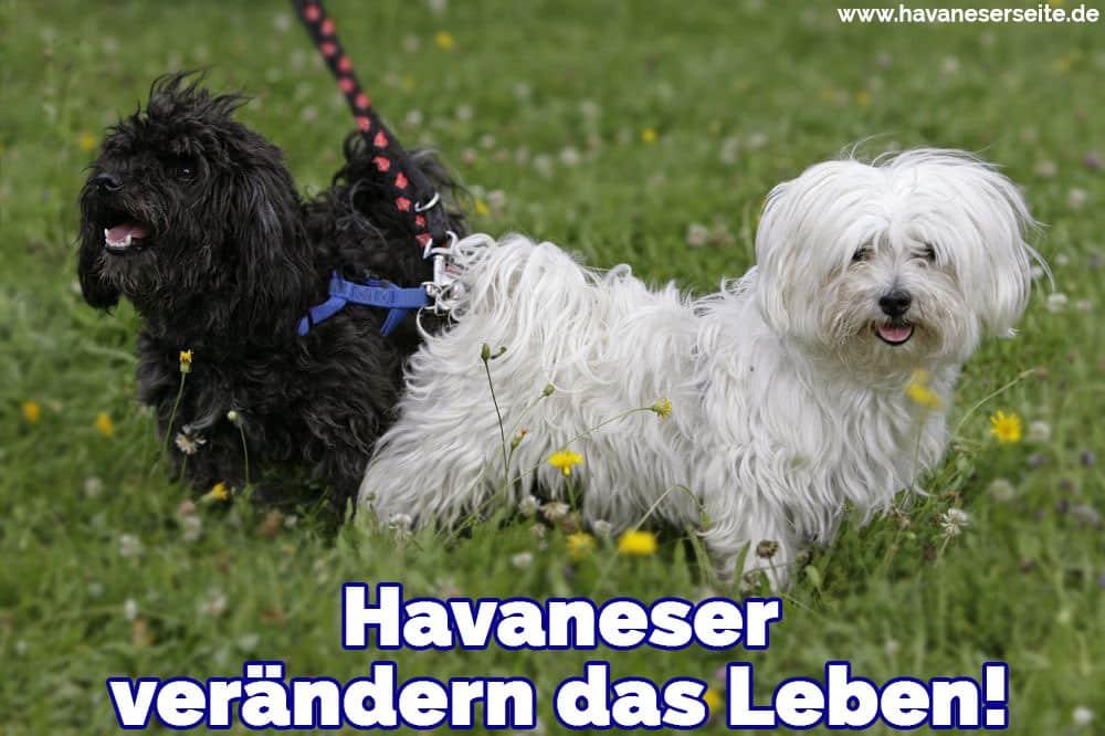 Zwei Havaneser auf Gras
