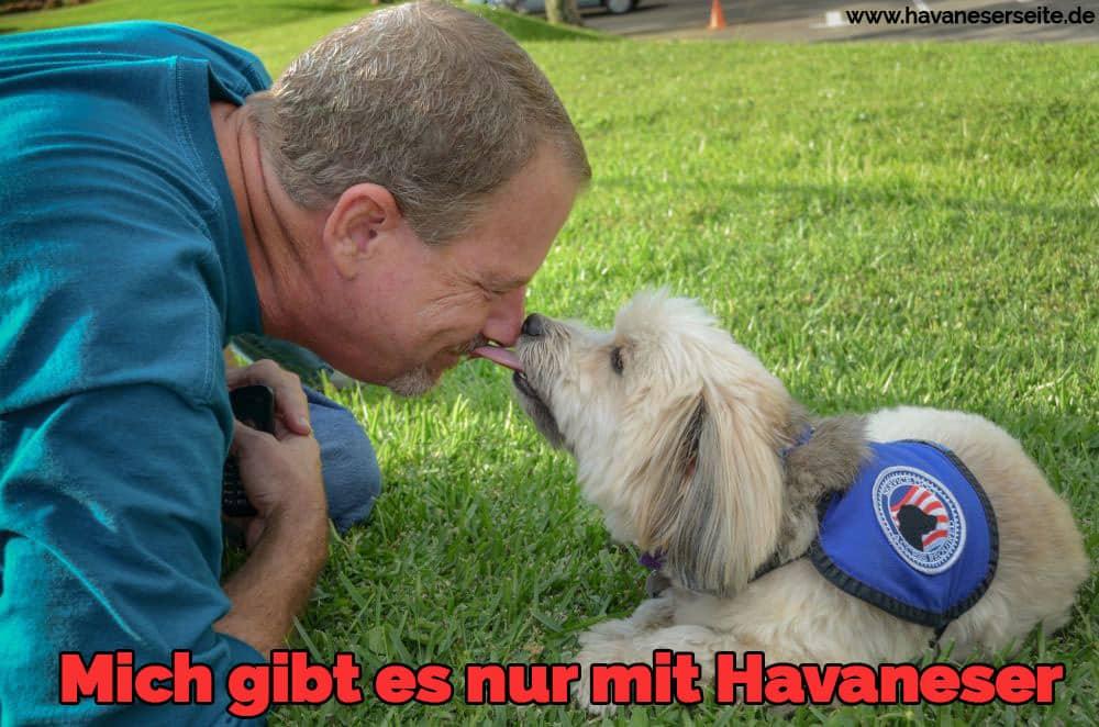 Eine Havaneser Steigung seiner Nase in seinem Besitzer