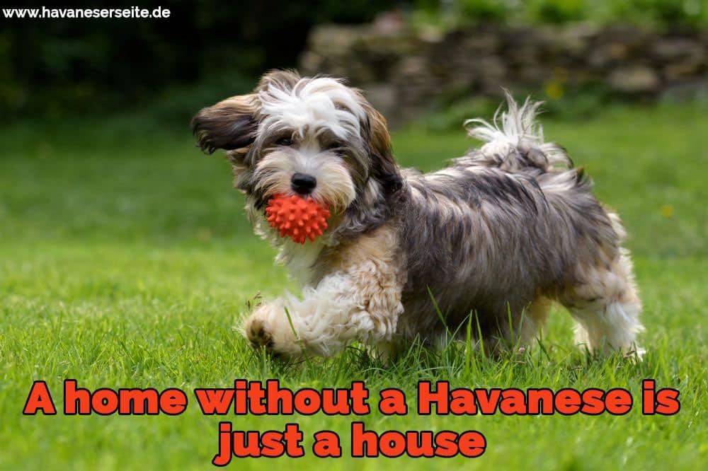 Ein Havaneser mit seinem Ball spielen