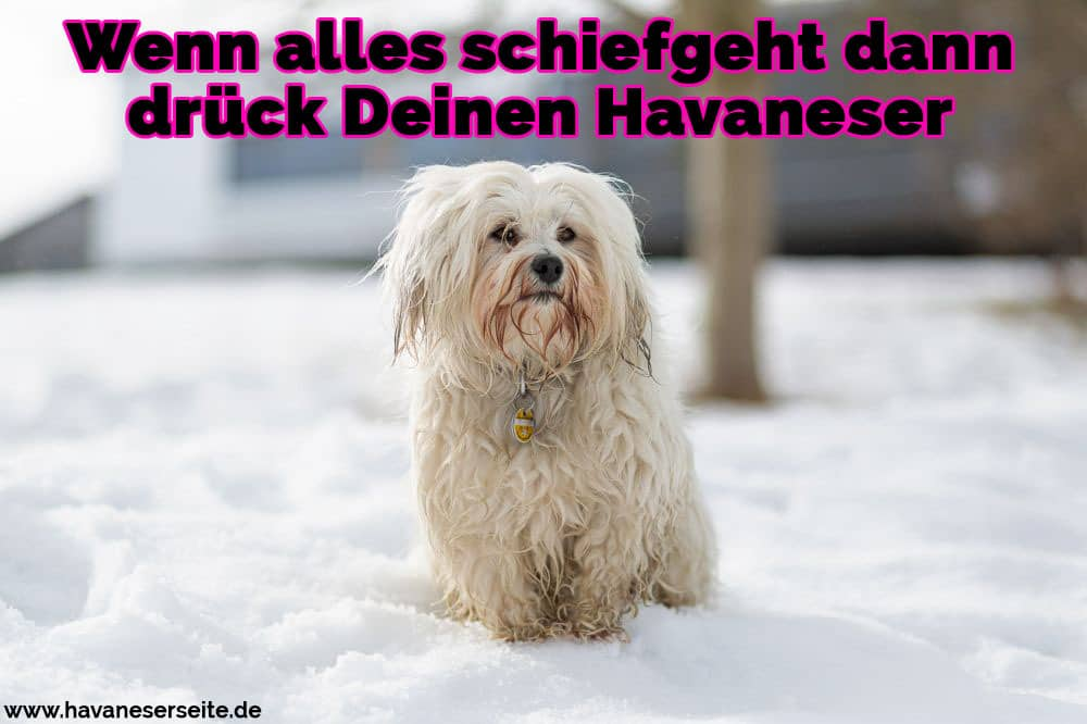 Ein trauriges Havaneser im Schnee