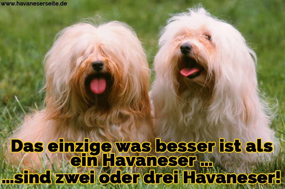 Zwei Havaneser zeigen die Zunge