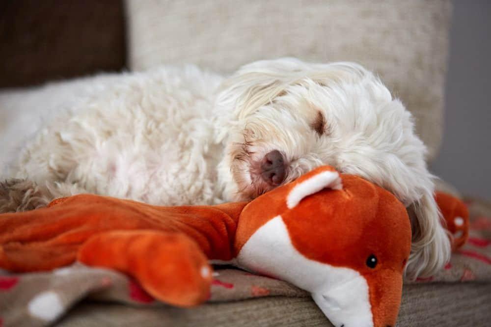 Havaneser Hund allein Zuhause lassen
