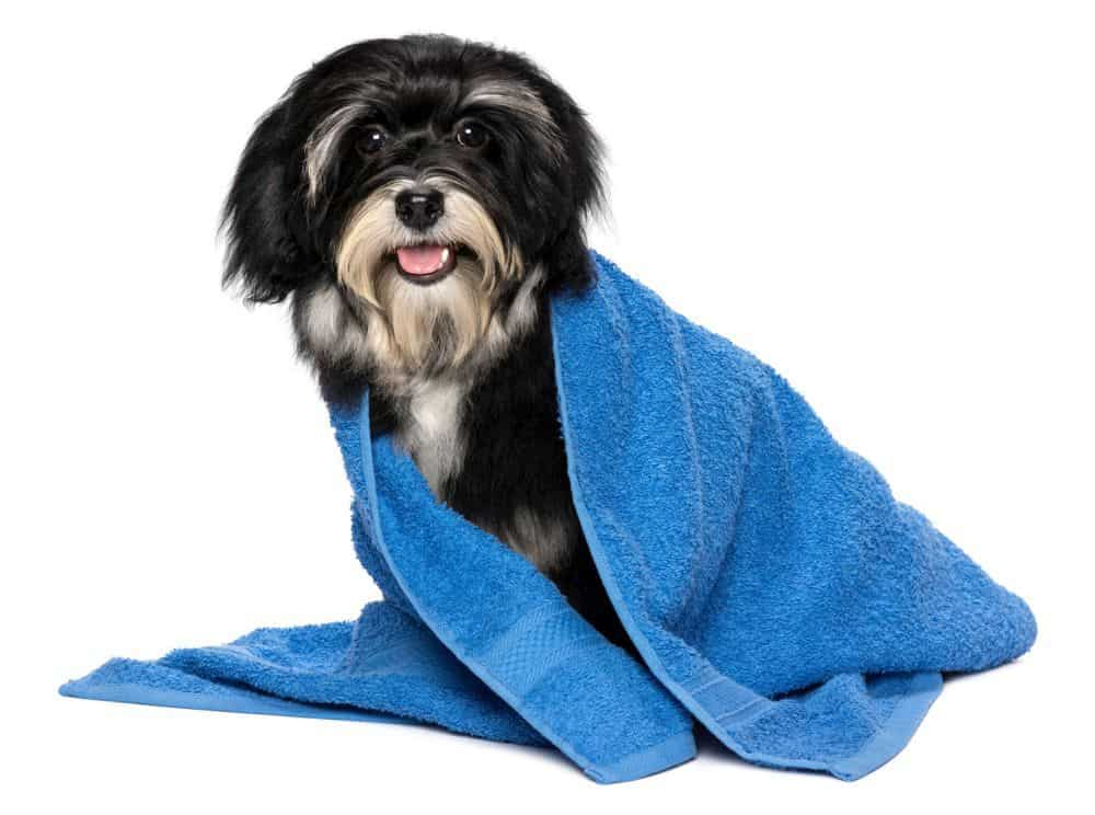 Havaneser Hund baden
