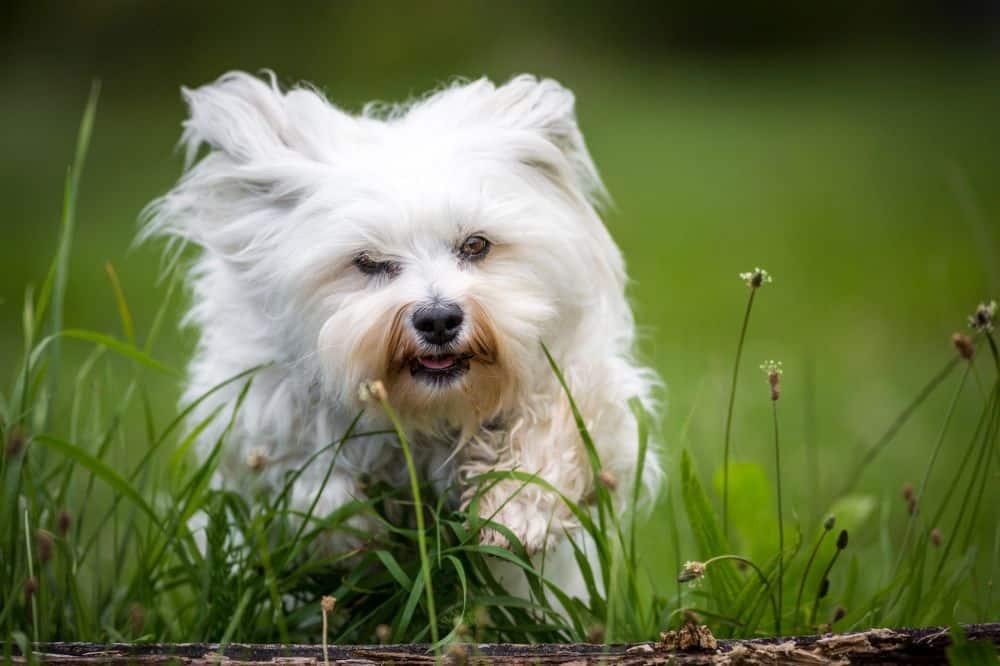 Havaneser Hund Charakter und Wesen