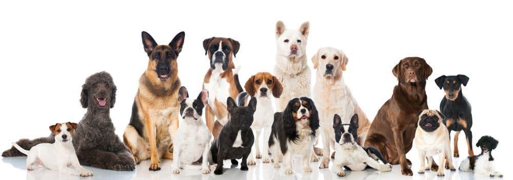 Lebenserwartung Havaneser und andere Hunderassen