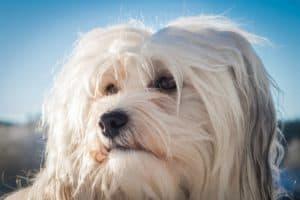 Hundeportrait Havaneser