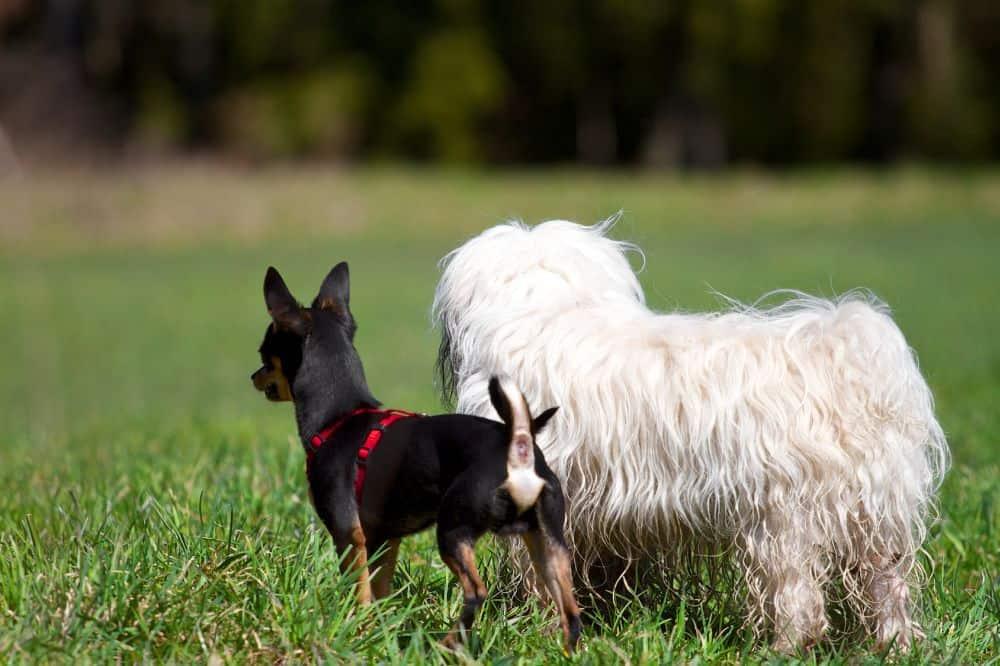 Havaneser mit anderem Hund