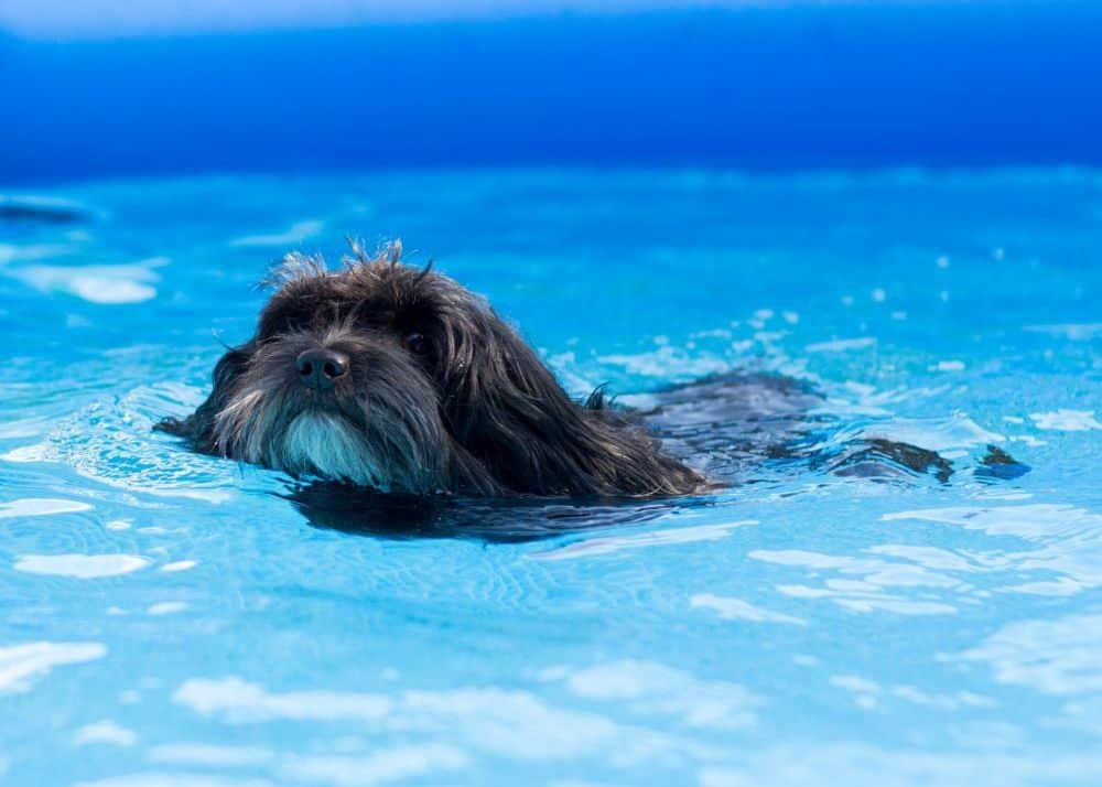 Havaneser im Wasser